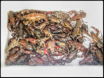 how to eat crayfish youtube