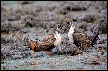 Greater-Sage Grouse