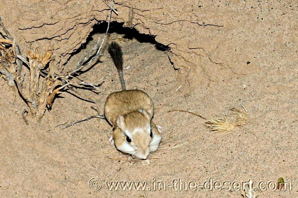 Desert animals pictures and names - photo#12