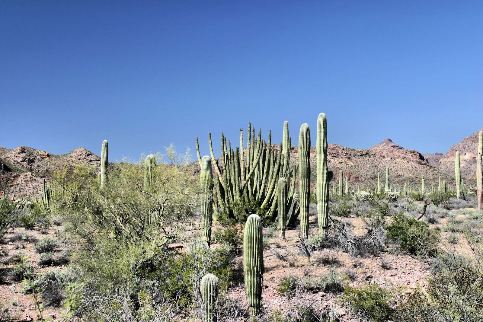 deserts cactus - photo #5