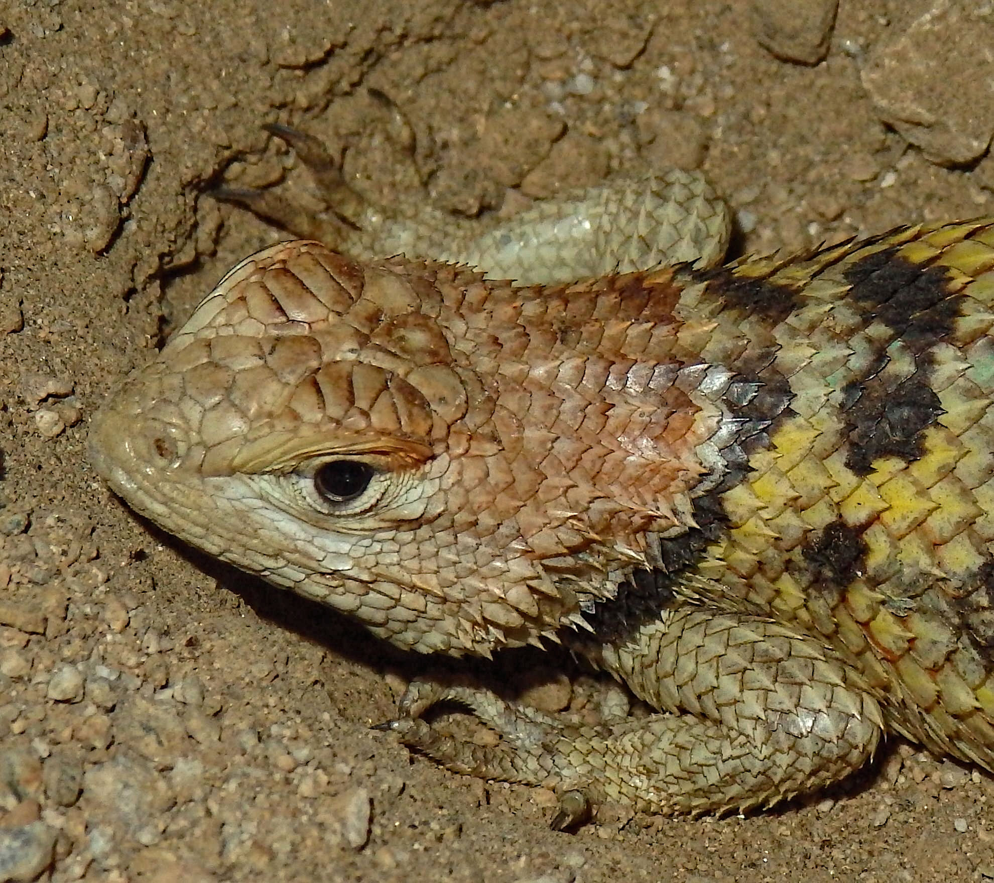 Listings of lizards found in the desert southwest with info