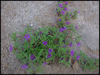 Flowers Often Found In The Desert Areas Of The Southwestern United