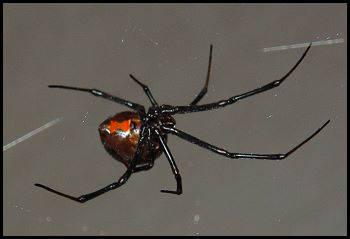 desert black widow spider - photo #21
