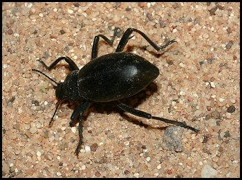 Armored Stink Beetle