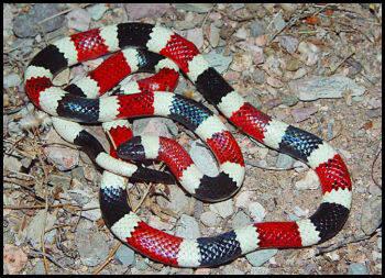 Black-tailed rattlesnake - September 9, 2012