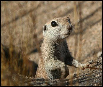 Round Tailed Ground Squirrel