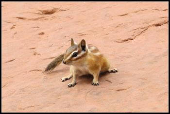 Colorado Chipmunk