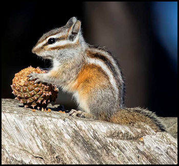 Gray-Collared Chipmunk